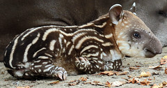 South american tapir Artis JN6A1598 (j.a.kok) Tags: tapir southamerica southamericantapir zuidamerika zuidamerikaansetapir animal artis mammal zoogdier dier herbivore babytapir