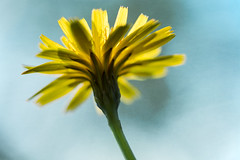 Every day's a good day but weekends are better (alideniese) Tags: macro closeup nature flower daisy dandeliondaisy flora 7dwf alideniese bright colourful colour sunny backlit backlighting sunlight texture blue yellow sky antperspective downlow ontheground underneath lookingup bokeh happy one light