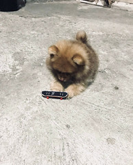 My puppy learning how to use a fingerboard (sandiagadeni) Tags: dog puppy cute puppies