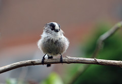 Long Tailed Tit (keyrex) Tags: wildlife bird garden summer tit longtailedtit cute closeup feathers