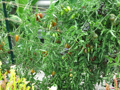 Candy Sweet Icicle (CSI) tomato plant (meizzwang) Tags: candy sweet icicle tomato review grow report cultivation outdoors northern california san francisco bay area new cultivar harvest home gardening brad gates wild boar farms organically grown