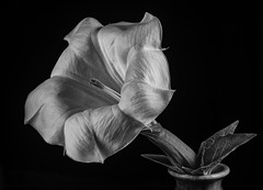 Shades And Textures In A Datura Flower - Black And White (Bill Gracey 20 Million Views) Tags: datura fleur flower flor lakeside sidelighting softbox griddedsoftbox lastoliteezbox tripod shapes shades textures blackbackground blackandwhite noiretblanc blancoynegro bw silverefexpro