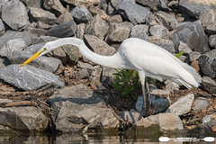 Searching For A Snack Along The Shore (freshairphoto) Tags: wading great egret white memorial lake shore state park pa artspearing nikon d500 200500 zoomhandheld kayak