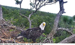 """""""Samson"""" visits parents' nest. (heights.18145) Tags: americaneaglefoundation romeo juliet eggs ccncby eagles"""