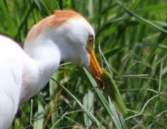 cattle egret (Bubulcus ibis) (im2fast4u2c) Tags: cattle egret bubulcus ibis sheldonlakestatepark avian bird wildlife animal family ardeidae monotypic genus
