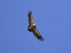 Gyps fulvus / Grifone/ Griffon vulture (Alvaro Colombo) Tags: coth nationalgeographicwildlife specanimal coth5 ngc npc