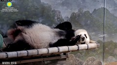 2018_08-16k (gkoo19681) Tags: beibei chubbycubby fuzzywuzzy toofers feetsies somuchfluff naptime curledpaws comfy sleepingangel toocute beingadorable stillababy precious darling contentment meltinghearts ccncby nationalzoo