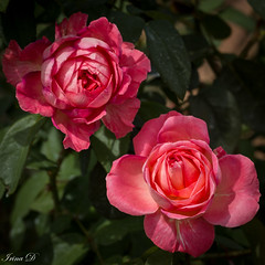 Two for Tuesday (Irina1010) Tags: roses flowers pink beautiful nature canon coth5 ngc npc
