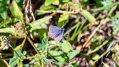Common Blue Oeschinensee Kandersteg 16 July 2018 (15) (BaggieWeave) Tags: switzerland kandersteg oeschinensee berneseoberland cantonbern alps butterfly commonblue