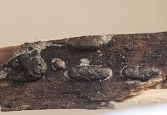 Reticularia olivacea (Fotografía de Naturaleza de Paco Moreno Gámez) Tags: flora fauna fotografía naturaleza andalucia myxomycete montaña tronco pino macrofotografía esporas racimos cluster