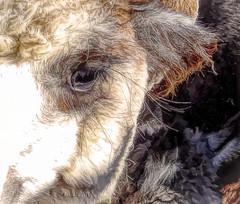Long-lashed alpaca (boeckli) Tags: alpaca animal animals tiere eyes augen fell fur furry lashes eyelashes augenwimpern textures texturen texture textur topaz topazstudio outdoor 7dwf