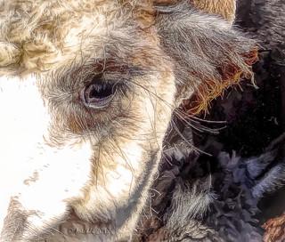 Long-lashed alpaca