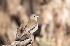 376A8040 (bon97900) Tags: 2018 redbankscp birds browntreecreeper burra midnorth sigmasports150600 southaustralia