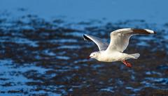 DSC_0157.jpg (David Hamments) Tags: redbilledseagull birdinflight australind gull 3deffect wa