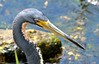 O2K_9481 (68photobug) Tags: 68photobug nikon d7000 sigmadg 150500mm usa centralflorida polkcounty lakeland preserve refuge sanctuary nature circlebbar heron tricoloredheron bird wadingbird marshrabbitrun