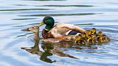 H36A5973 (idvisions) Tags: aquaticbird wildlife wetlands wetland water explore thewonderfulworldofbirds outdoor ducklings duckling mallard mallards