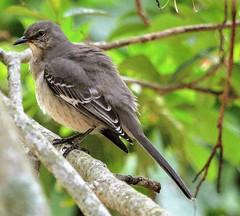 Backyard Visit (ACEZandEIGHTZ) Tags: mimus polyglottos state bird nikon d3200 florida backyard birdwatcher gray winged bokeh naturethroughthelens coth5 sunrays5