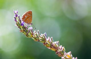 Backlit Butterfly on Lavender