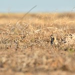 Groundhogs in Idaho thumbnail