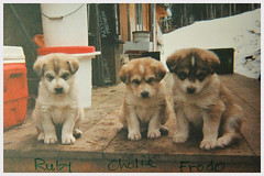Pup-pups (Robert Drozda) Tags: fairbanks alaska sleddog alaskahusky puppy toasterspups littermates ruby cholie frodo 2001 film print kodakdisposablecamera singleusecamera beingthere drozda littledoglaughedstories
