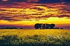 Beautiful landscape of a flowering canola field at sunset (Rob Rye) Tags: agriculture background beautiful beauty bloom blossom bright canola cloud colorful colza country countryside crop dawn evening farm field floral flower fuel grass green growth land landscape leaf light meadow nature oil oilseed outdoor plant rapeseed rural scenery scenic season sky spring summer sun sunrise sunset tree up yellow