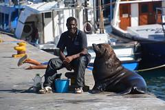 phoque Hout bay Afrique du sud _6491 (ichauvel) Tags: phoque seal animal repos relax rest homme man port harbour bateaux boats afriquedusud houtbay provinceducap capetownprovince afrique africa voyage travel assis sitting getty