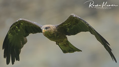 Birds of Prey @ Warwick Castle, England (rvk82) Tags: 2018 birds england june june2018 nikkor200500mm nikon nikond850 rvk rvkphotography raghukumar raghukumarphotography warwick warwickcastle wildlife rvkonlinecom rvkphotographycom rvkphotographynet unitedkingdom gb