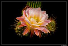 Cactus Flower (Ken Mickel) Tags: beautiful cacti cactus flower flowers flowersplants flowersonblack kenmickelphotography plants blackbackground blossom blossoms botanical closeup nature photography upclose