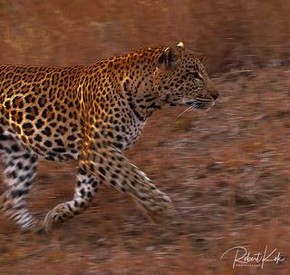 Golden glow leopard!
