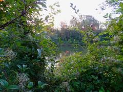 """Iller -der Fluss > Pflanzen am Ufer / Iller the River > Plants on the Shore / Iller -la Rivière > Plantes sur la Rivière (warata) Tags: 2018 deutschland germany süddeutschland southerngermany schwaben swabia oberschwabenupperswabia schwäbischesoberland badenwürttemberg badenwuerttemberg landschaft landscape illertal """"unteres illertal"""" sonnenaufgang """"sony dschx400v"""" """"iller der fluss"""" iller illerkanal pflanzen wildpflanzen ufer fluss river"""