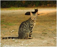 P7131840 19x24 (M64RM) Tags: gattoeuropeo tabby