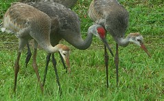 Trio (sandhill cranes)  --   IMG_20180812_082153 (mshnaya ☺) Tags: trio sandhill cranes red crown adult two juvenile wildfowl fauna bird feed