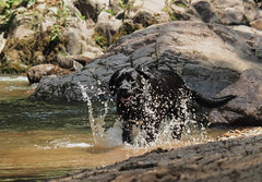 In the river (katal.photography) Tags: water dog dogs animal animals labrador boxer river rocks nature play playing dogplaying