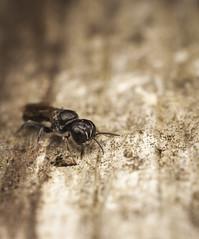 Digger Wasp (snomanda) Tags: insect bug animal closeup wildlife nature macro digger wasp invertebrate crossocerus megacephalus hymenoptera arthropoda sphecidae
