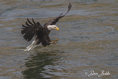 Tail drag (littlebiddle) Tags: bird aves nature wildlife feathers