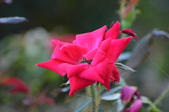 2018-08-04 (10) red rose at Laurel Park (JLeeFleenor) Tags: photos photography md maryland marylandracing marylandhorseracing laurelpark outside outdoors