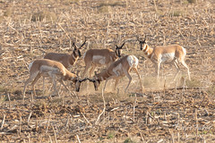 Pronghorn bucks battle while others watch