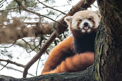2018-08-07 (silare) Tags: tree afternoon cloudy overcast tongue sticking out face obscured sitting carson redpanda firefox ailurusfulgens endangered mammal animal woodlandparkzoo zoo phinneyridge seattle washington