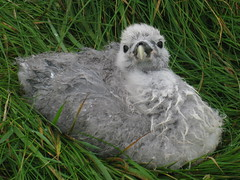Lonely chick (Jan Egil Kristiansen) Tags: img4618 bird seabird chick mykines faroeislands sooc náta