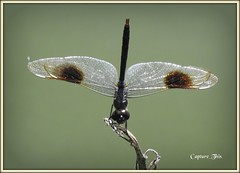 Dragonfly Upright! (todd5524) Tags: dragonfly macro amazing photography photoshop nikon coolpix nature