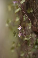 Orquidea (Azulada_) Tags: orquideas flor flowers santillanadelmar asturias spain macro nature green life bokeh