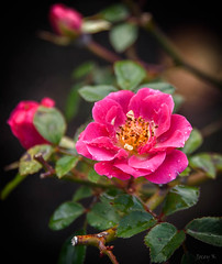 Little Pink Rose (Jocey K) Tags: newzealand nikond750 christchurch flower raindrops rose miniaturerose