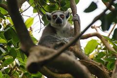 Ring-tailed lemur (Steenjep) Tags: jesperhus jesperhusblomsterpark park blomst fun summer sun mors zoo dyr animal ringtailedlemur lemurcatta kattalemur lemur