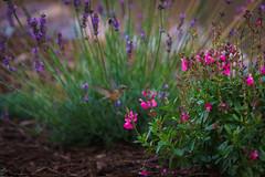 Visitor (SahilH) Tags: sonyalphadslr sony hummingbird birds flower garden plants color visitor backyard