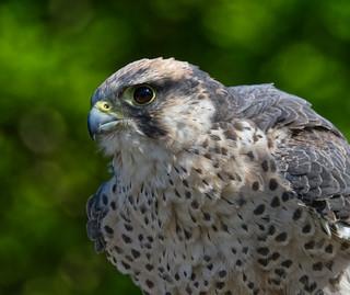 Queen of hearts ~ Lanner Falcon
