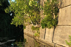 Growing out of concrete (deanspic) Tags: cornwallcanal aspen cedar masonry concrete veneer water paddleon g3x