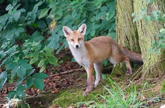 Young Fox (Vulpes vulpes)  (1 of 2) - Taken at Sywell Country Park, Sywell, Northamtonshire. UK (Ian J Hicks) Tags: