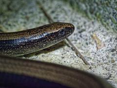 Un orvet bien sympathique (Anguis fragilis) (fcharriere) Tags: switzerland reptile macro slowworm