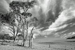 Afternoon gum trees (OzzRod) Tags: pentax k1 hdpentaxdfa1530mmf28 landscape monochrome blackandwhite trees gumtrees paddock fence kangaroos cirrus clouds bungabeach nswfarsouthcoast daily august 2018