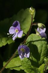 Veronica montana (Wood Speedwell) (Hugh Knott) Tags: veronicamontana woodspeedwell flora anglesey wales uk veronicaceae macro